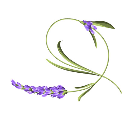 Bend single flower. Awesome lavender flower bend over white background. Vector illustration.
