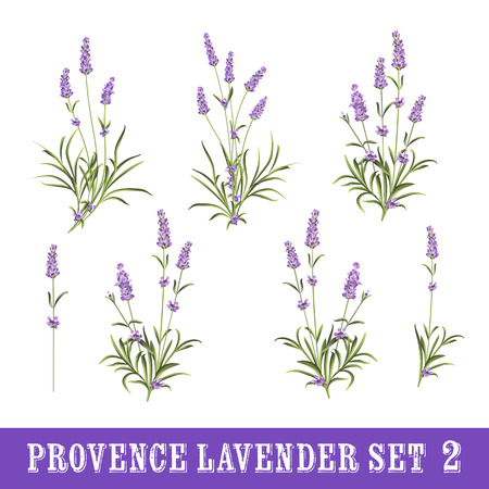 Vintage set of lavender flowers elements. Botanical illustration. Collection of lavender flowers on a white background. Lavender hand drawn. Watercolor lavender set.