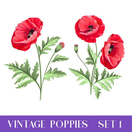Set of poppy flowers elements. Illustration