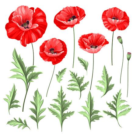 poppy: conjunto de la amapola de la vendimia. Flores de la boda paquete. Colección de la flor de las amapolas dibujados a mano acuarela detallada. Ilustración del vector. Vectores