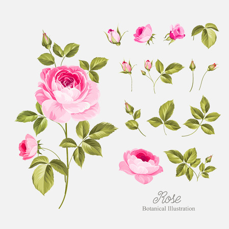 establecen Flores de la vendimia. Flores de la boda paquete. colección de flores de rosas dibujadas a mano acuarela detallada. Ilustración del vector.