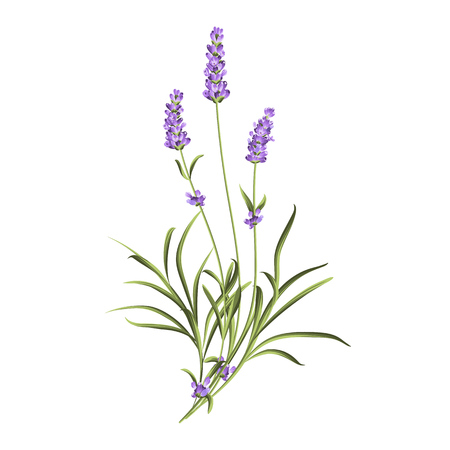 Vintage set of lavender flowers elements. Botanical illustration. Collection of lavender flowers on a white background. Lavender hand drawn. Watercolor lavender set.  Lavender flowers isolated on white background. Vectores