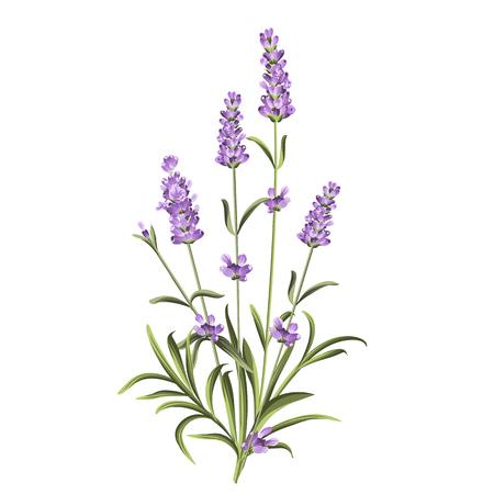 Lavendel bloemen elementen. Botanische illustratie. Het verzamelen van lavendel bloemen op een witte achtergrond. getrokken lavendel de hand. Watercolor lavendel in te stellen. Lavendel bloemen op een witte achtergrond. Stock Illustratie
