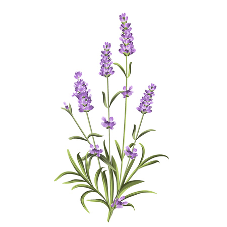 Lavender flowers elements. Botanical illustration. Collection of lavender flowers on a white background. Lavender hand drawn. Watercolor lavender set.  Lavender flowers isolated on white background. 矢量图像