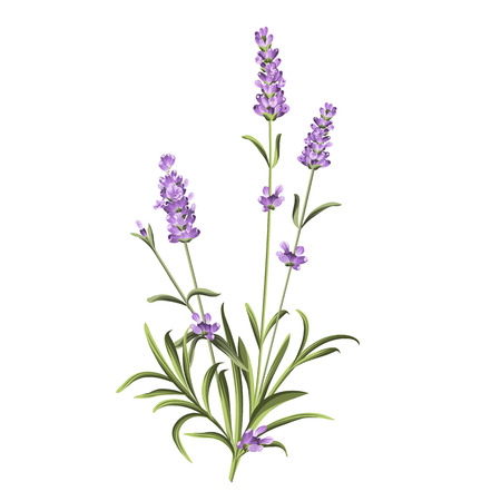 lavender oil: The lavender elegant card with bouquet of flowers and text. Lavender garland for your text presentation. Label of soap package. Label with lavender flowers. Vector illustration. Illustration
