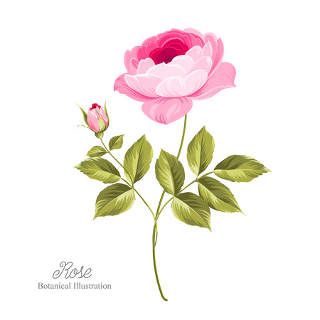 pink rose: Pink beautiful rose over white background. Vector illustration.