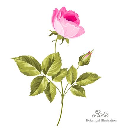 Hand gezeichnet Rose isoliert auf weißem Hintergrund. Vektor-Illustration.
