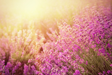 lavendin: Lavender bushes closeup on sunset. Sunset gleam over purple flowers of lavender. Provence region of france. Stock Photo