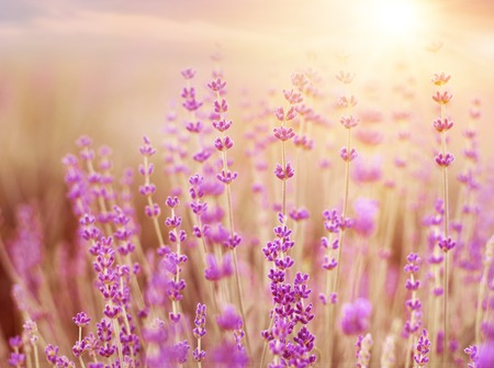 field sunset: Lavender bushes closeup on sunset. Sunset gleam over purple flowers of lavender. Bushes on the center of picture and sun light on the left. Provence region of france. Stock Photo