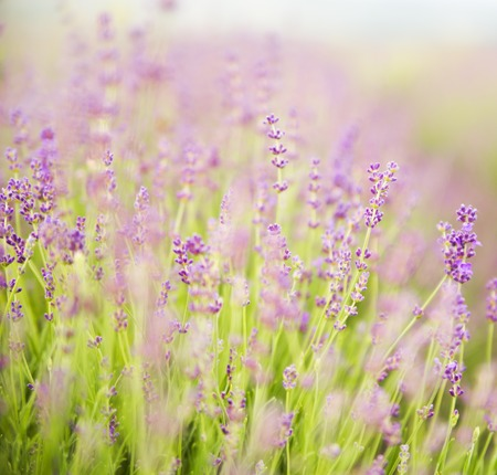 lavendin: Lavender field over sunser sky. Beautiful image of lavender field over summer sunset landscape. Lavender flower field, image for natural background.