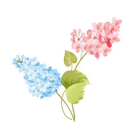 Purple Lilac flowers of Syringa isolated on white background. Spring flowers. Vector illustration.