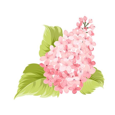 flores moradas: Flores de la lila púrpura de Syringa aislados sobre fondo blanco. Flores de primavera. Ilustración del vector. Vectores