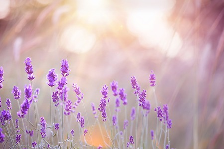 Sunset over a violet lavender field in Provence, France 写真素材