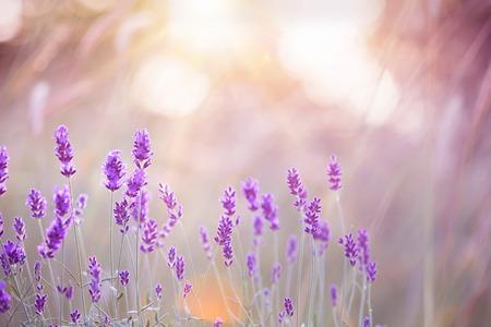 Sunset over a violet lavender field in Provence, France Foto de archivo