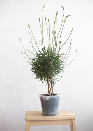 white interior: Lavender pot in the interior over white wall. Blooming lavender. Interior Provence. Stock Photo