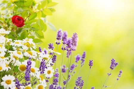 campo de flores: Campo de lavanda cerca. Lavanda flor. rosa floreciente. flores de lavanda aromáticos sobre el cielo del atardecer.