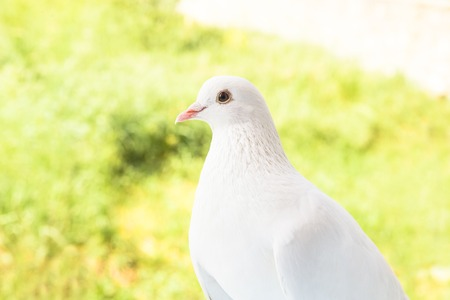 fantail: White dove looking on you over green grass field. White pigeon on the green background. Stock Photo