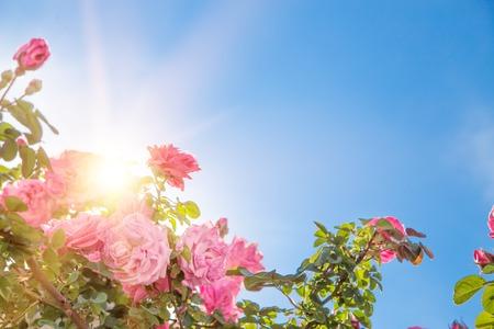 Giardino di rose sopra il cielo. Rose rosa sono in fiore brillantemente. fascio di luce del sole attraverso cespugli di rose. cielo cielo blu.