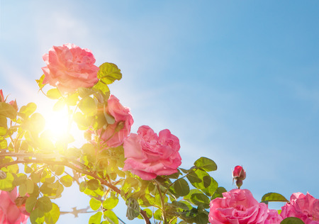 heaven light: Rose garden over sky. Pink roses are blooming brightly. Sun beam light through rose bushes. Blue heaven sky.