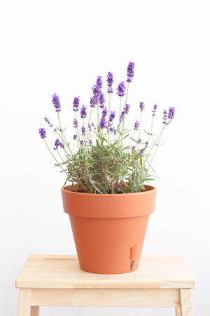 pots: Blooming lavender. Pot of lavender. Provence interior