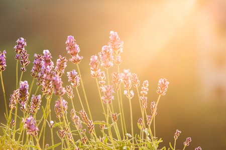 field sunset: Sunset over a violet lavender field in Provence, France. Lavandula flowers over sunset rays. Provence landscape closeup.