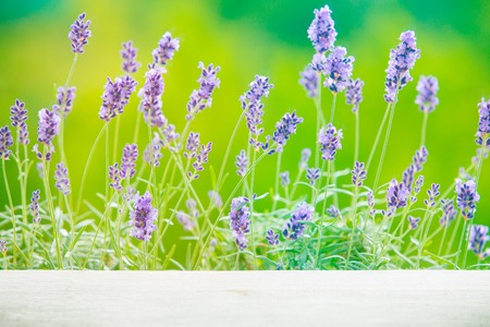 lavanda: Lavandula flowers over green grass field. Provence landscape closeup. Stock Photo