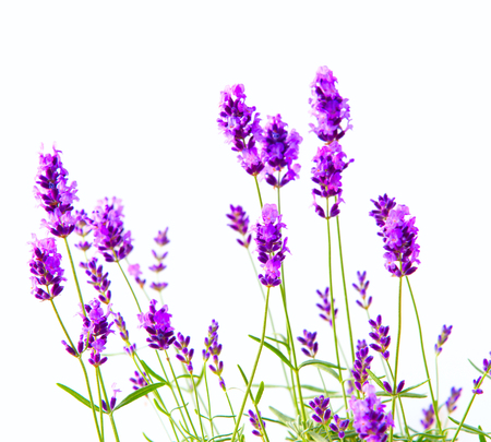 lavander: Bunch of lavender on a white background.