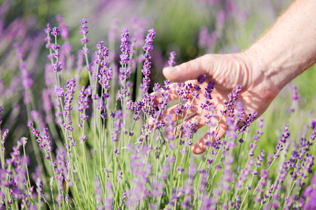 lavendin: Green shots of lavender in the hands against blooming field.