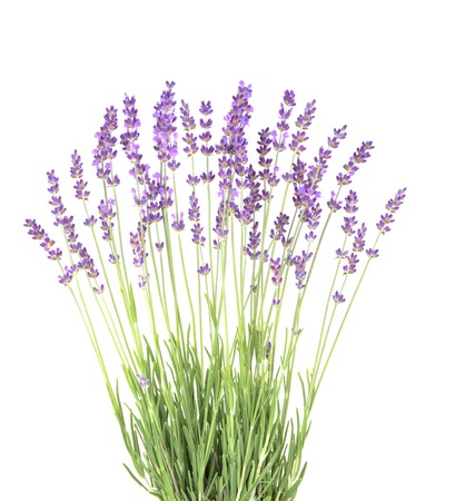 isolated flower: Lavender in the interior. blooming lavender. Provence Interior. Lavender on a white wall.