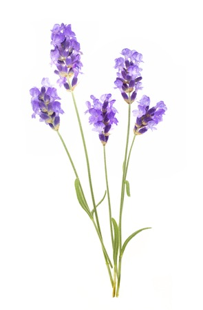 lavendin: Bunch of lavender on a white background.