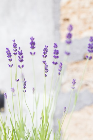 lavendin: Lavender flowers on the background bricks. Lavender bushes closeup over brick wall. Provence region of france.
