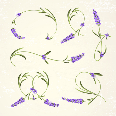 french countryside: Vintage set of lavender flowers elements. Botanical illustration. Lavender hand drawn. Watercolor lavender set. Lavender flowers isolated on paper background.