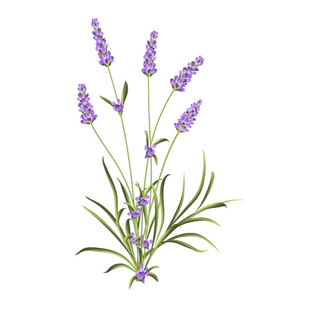 outdoor wedding: Bunch of lavender flowers on a white background. Label of soap package. Lavender card for invitation, label and other printing or web projects. Label with lavender flowers. Stock Photo