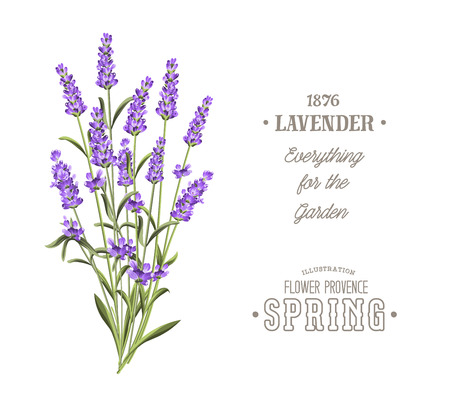 lavender oil: Bouquet of aromatic lavender flowers. Invitation card template with violet flowers of lavender. White wedding invitation.