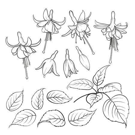 flores fucsia: Fucsia aislado en el fondo blanco. Conjunto de elementos de flores fuhsia. Colección de flores fucsia en un fondo blanco. ilustración vectorial paquete.