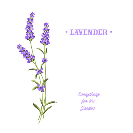 Bunch of lavender flowers on a white background. Imagens - 68019642