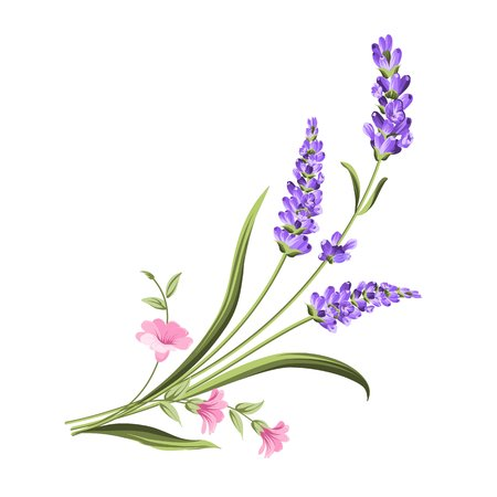 Bunch of lavender flowers on a white background.Botanical illustration. Vintage style. Making gifts of paper and textiles. Vector illustration. Illustration