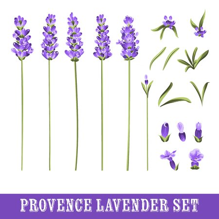 french countryside: Set of lavender flowers elements. Botanical illustration. Collection of flowers on a white background. Hand drawn watercolor set. Vector illustration.