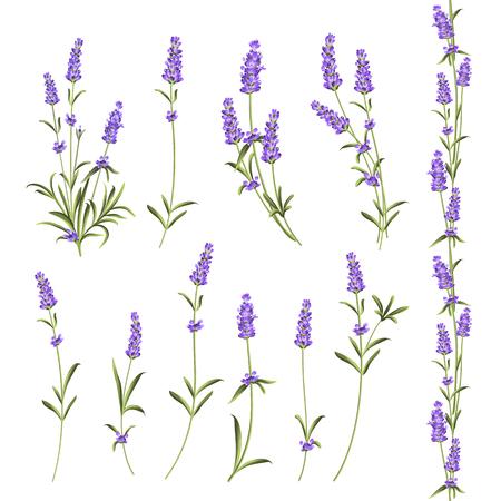 Set of lavender flowers elements. Botanical illustration. Collection of lavender flowers on a white background. Vector illustration bundle.
