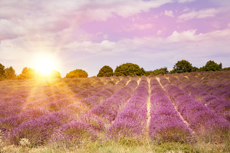 lavendin: Lavender bushes on sunset. Sunset gleam over purple flowers of lavender. Bushes on the center of picture and sun light on the left. Provence region of france.