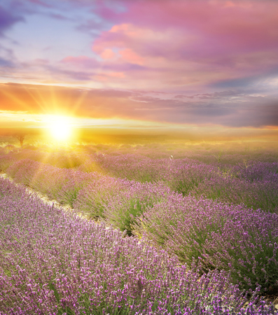 lavendin: Sunset over a summer lavender field, looks like in Provence, France. Lavender field. Beautiful image of lavender field over summer sunset landscape.