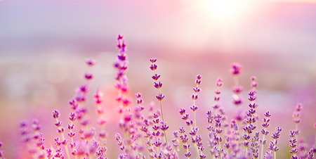fragrant scents: Lavender flower field, fresh purple aromatic flowers for natural background.