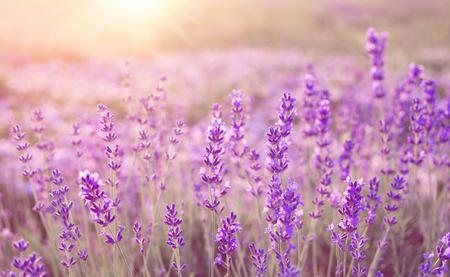 夏の日没の風景にラベンダー畑の美しい画像。 写真素材