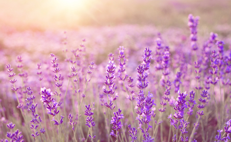 Beautiful image of lavender field over summer sunset landscape. 免版税图像 - 74380682