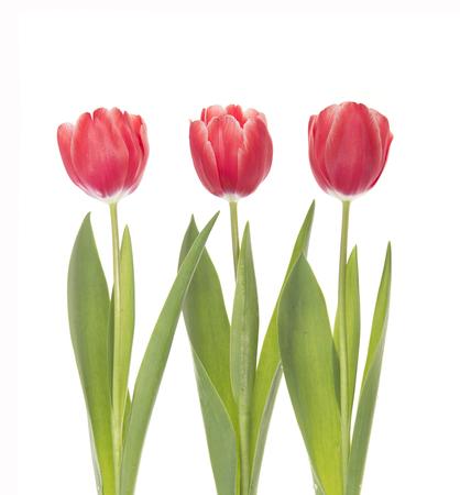 Three red tulips isolated on white background. 版權商用圖片