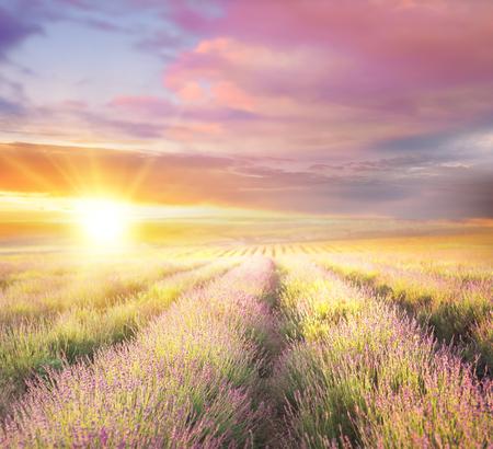 Sonnenuntergang Himmel über einem violetten Lavendelfeld in der Provence, Frankreich. Lavendel Büsche Nahaufnahme am Abend Licht.