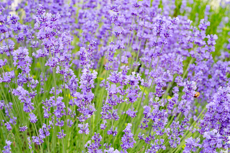 Lavender flowers field, close-up with soft focus for natural background. Aromatic lavender flowers over sunset sky.