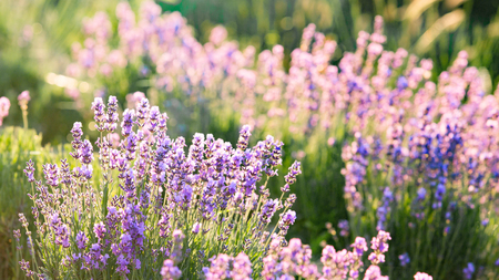 lavendin: Lavender bushes closeup on sunset. Lavender field closeup. Blooming lavender. Sunset gleam over purple flowers of lavender. Provence region of france.