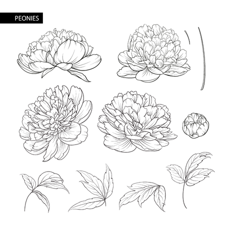 Set of peony flowers contour elements. Botanical illustration. A collection of peonies on a white background. Vector illustration bundle. Illustration