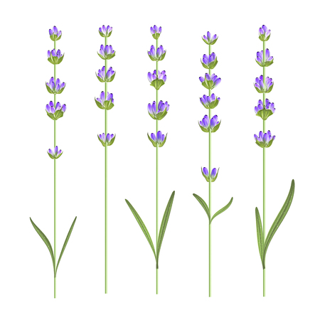Set of lavender flower elements. Vector illustration bundle.